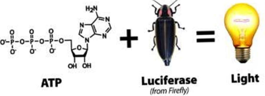 Reação ATP com luciferase